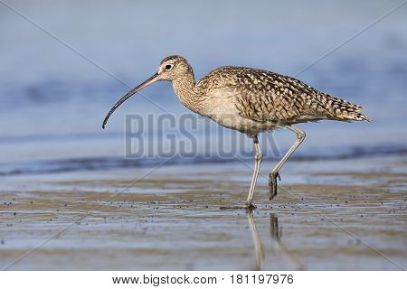 Long-billed Curlew Foraging At The Edge Of An Estuary