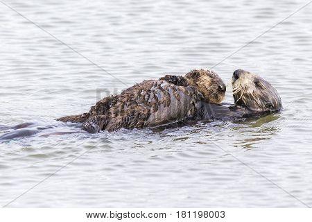 Southern Sea Otter Cradling Her Pup - Monterey Peninsula, California