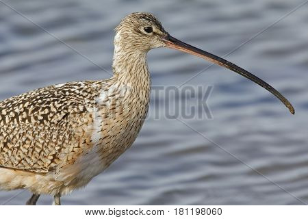 Closeup Of A Long-billed Curlew  - Monterey Peninsula, California