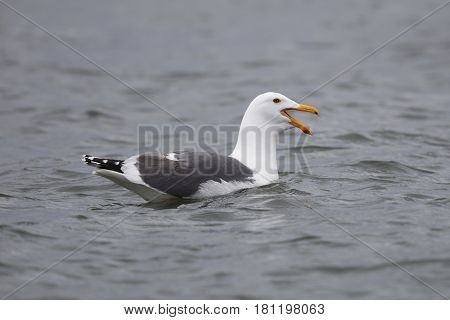 A California Gull Calls While Swimming In A California Estuary