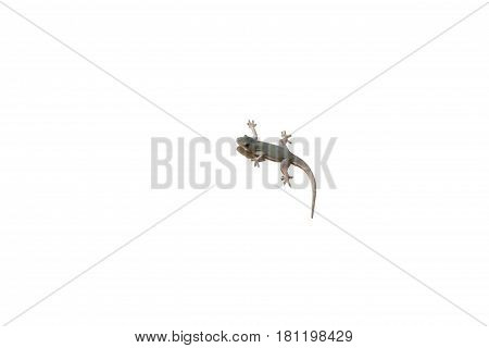 Single lizard isolated, Lizard on white background