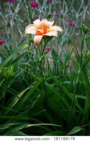 Flower of a day lily of salmon color on long runaway in a flower bed at evening illumination.