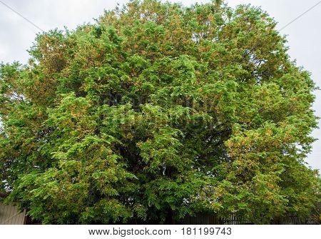 Large very old flowering tamarind tree Tamarindus indica about 30 feet or 10 metres high