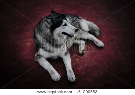 Portrait of Siberian Husky. Full body of tame dog sitting on red ground. Vignette and dark tone style. High contract.