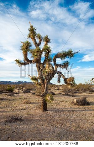 A Joshua Tree reaches for the sky in the Mojave Desert, California