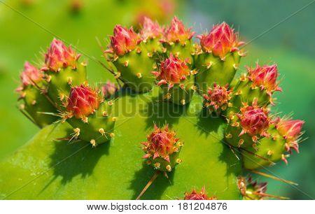 Prickly pear cactus. Tropical plant blossom. Close up