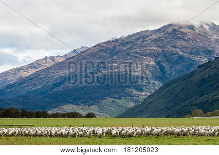 Many sheep in front of beautiful mountain in New zealand.
