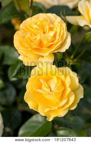 Yellow Rose on the Branch in the Garden
