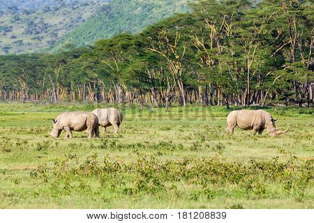 White rhinoceros or Ceratotherium simum grazing in national park Lake Nakuru, Kenya
