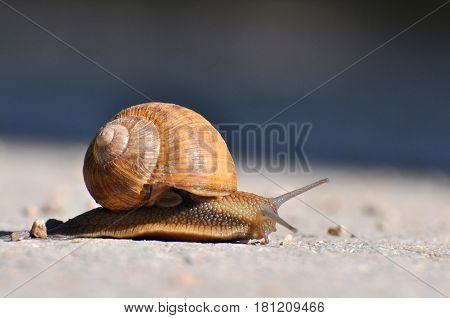 Snail crawling on the asphalt road. Burgundy snail, Helix, Roman snail, edible snail or escargot crawling