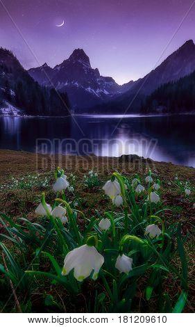 Frühling bei Obersee im Kanton Glarus.Die ersten Märzenbecher blühen.