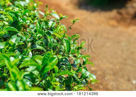Tea plant fresh green tea nature healthy drink leaf from nature.