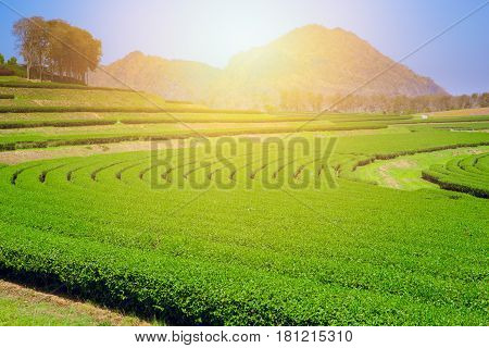 Green Tea Agriculture Field With Blue Sky Copy Space.