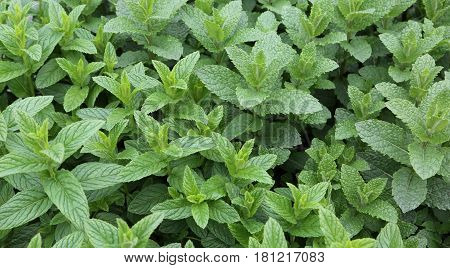 green mint leaves on sale in the grocery store. Mint is a tasty herb ideal to flavor many dishes mainly used in the Mediterranean diet