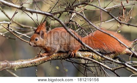 Cute squirrel with a short nose - Sciuridae