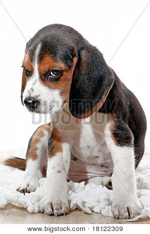 puppy dog with attitude