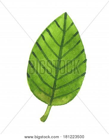 Green leaf. Watercolor illustration isolated over white