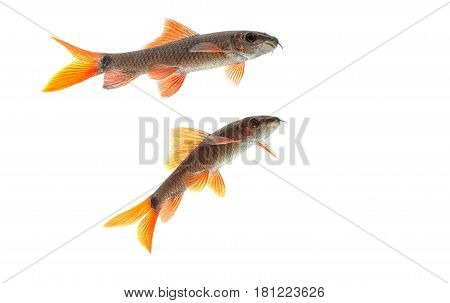 aquarium fish Red Tail Shark (Labeo bicolor) on white background poster
