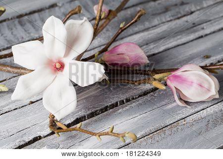 flowers magnolia on wood table. Magnolia stellata . Still life