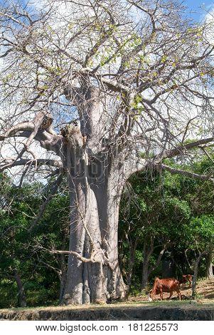 Baobab Tree On Sakouli Beach On Mayotte Island