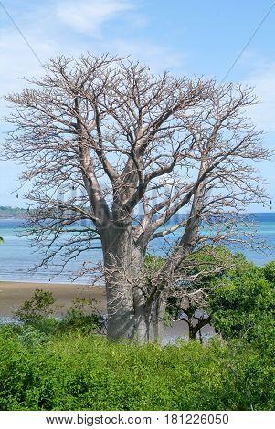 Baobab Tree On A Beach On Mayotte Island