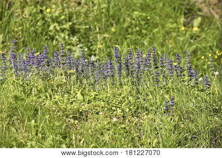 detail of Hyssopus officinalis plant in a meadow in italy