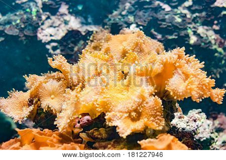 Glowing orange soft coral on a blue water background under water soft focus