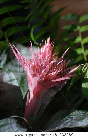 Unusual pink tropical flower with spikey petals.