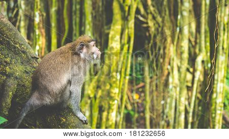 Long-tailed macaques sitting on an Tree, Macaca fascicularis, in Sacred Monkey Forest, Ubud, Indonesia. Vintage look