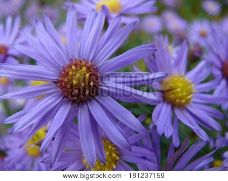 A perennial Italian aster blooms in the middle of summer, abundantly covering the short bush with bright inflorescences. Forms cute curtains.