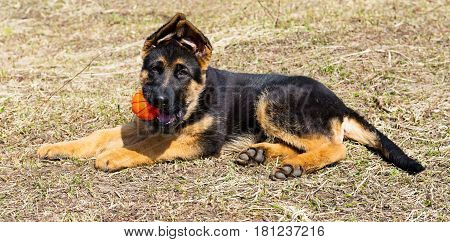 German Shepherd Dog, 4 months old, playing with ball