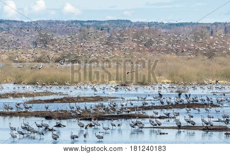Cranes at Lake Hornborga during migration at springtime in Sweden. During its peak late March - early April up to 20000 cranes can be counted daily.