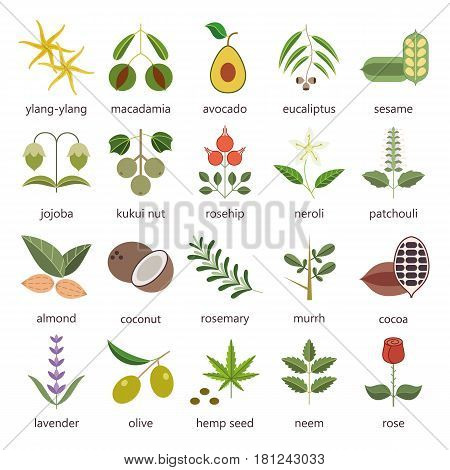 Set of herbs and plants color flat icons used in cosmetics and natural medicine. Vector illustration