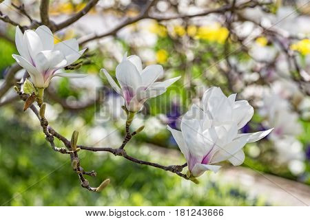 Beautiful blooming magnolia tree in spring time