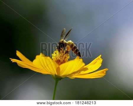 Honey bee collecting nectar on yellow cosmos flower.