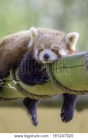 Red Panda Sleeping. This cute nocturnal animal asleep