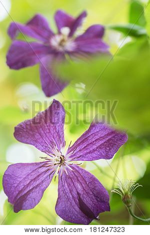 Clematis flower on a fence. Close-up shot with beautiful bokeh