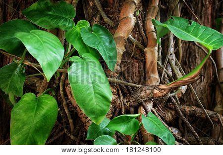 Liana In The Jungle.