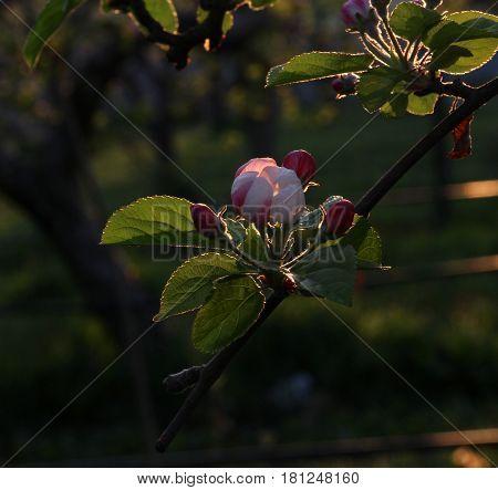 Fragile , Beautiful Blossom Of An Apple Tree.morning Shot