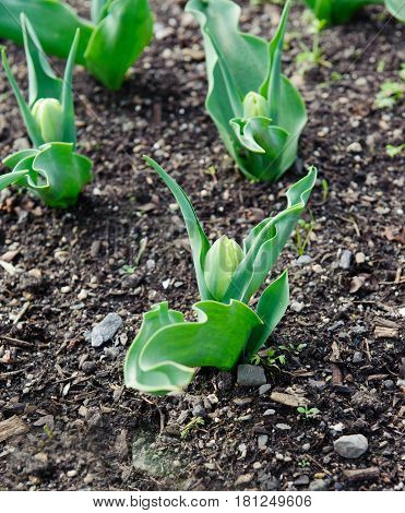 Nice closed tulip buds on a spring time