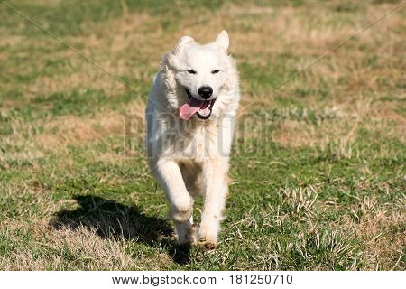 A white great pyrenees dog running through a field.