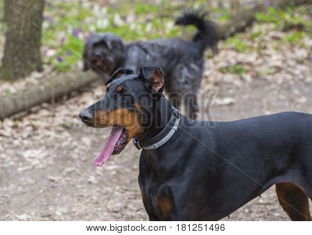 German Pinscher dog walking in the park with mouth open and tongue hanging out