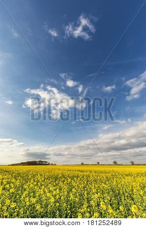 Bright Yellow Field Of Rapeseed Under Blue Sky And Fluffy Clouds