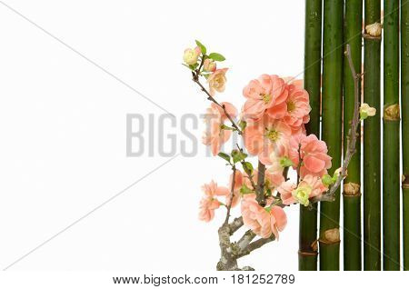 Spring flowering branches, orange cherry and bamboo grove