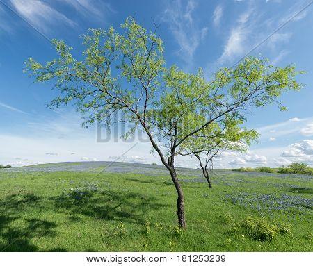 Trees in Bluebonnet Field with blue skyTexas USA