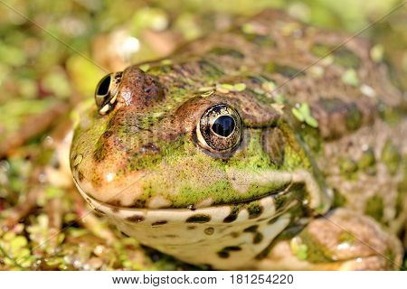 Close-up of a green frog on a swamp. Amphibians. Live nature.
