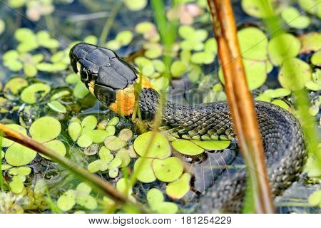 Closeup Grass-snake. Non-venomous snake (lat. Natrix natrix). The snake in the forest glade is basking in the sun. Wild nature. Urals, Russia