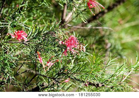 Explore Grevillea Sericea Spider Flower on a spring time
