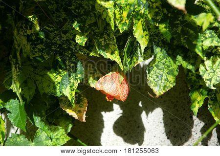 Abutilon , Abutilon pictum  Thompsonii flowers blosom
