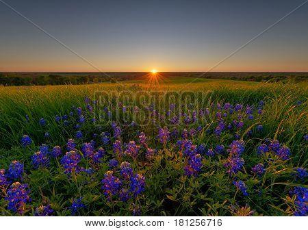 Bluebonnet Flowers field at sunset in Ennis